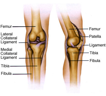 Anatomy of the knee bones and ligaments knee joint bone anatomy knee anatomy ccuart Image collections